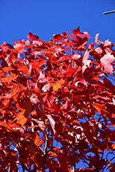 October Glory Red Maple (Acer rubrum 'October Glory') at Baseline Nurseries