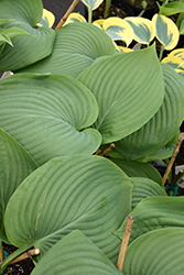 Empress Wu Hosta (Hosta 'Empress Wu') at Baseline Nurseries