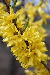 Magical® Gold Forsythia (Forsythia x intermedia 'Kolgold') at Baseline Nurseries