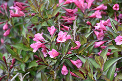 Fine Wine® Weigela (Weigela florida 'Bramwell') at Baseline Nurseries