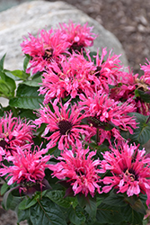 Cranberry Lace Beebalm (Monarda 'Cranberry Lace') at Baseline Nurseries