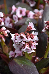 Dragonfly™ Angel Kiss Bergenia (Bergenia 'Angel Kiss') at Baseline Nurseries